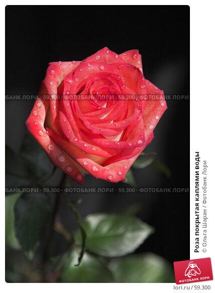 Роза покрытая каплями воды, фото № 59300, снято 6 июля 2007 г. (c) Ольга Шаран / Фотобанк Лори