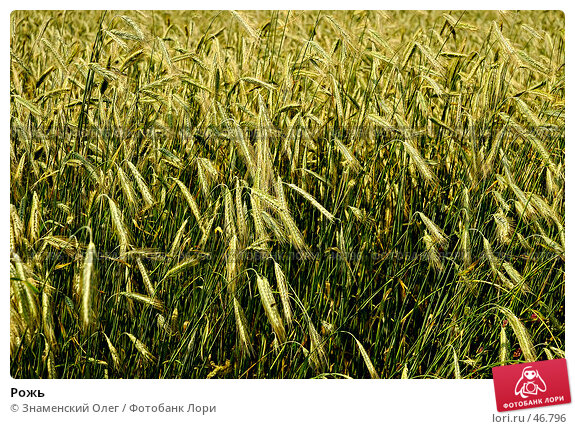 Рожь, фото № 46796, снято 9 июля 2006 г. (c) Знаменский Олег / Фотобанк Лори