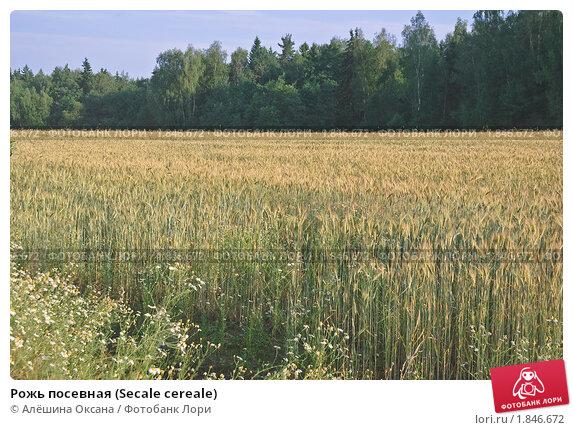 Купить «Рожь посевная (Secale cereale)», фото № 1846672, снято 5 июля 2010 г. (c) Алёшина Оксана / Фотобанк Лори