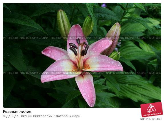 Розовая лилия, фото № 43340, снято 17 июля 2006 г. (c) Донцов Евгений Викторович / Фотобанк Лори