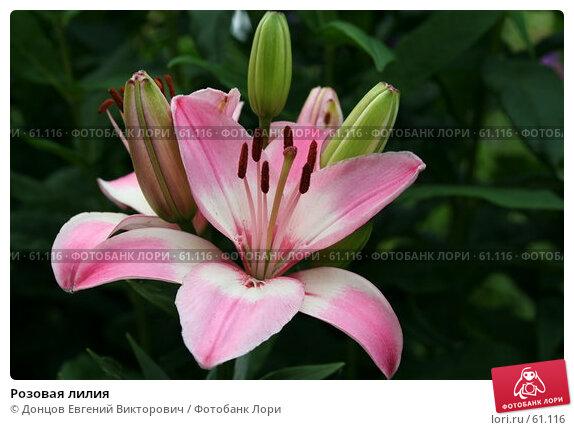 Розовая лилия, фото № 61116, снято 10 июля 2007 г. (c) Донцов Евгений Викторович / Фотобанк Лори