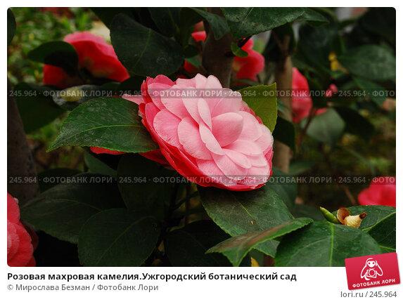 Купить «Розовая махровая камелия.Ужгородский ботанический сад», фото № 245964, снято 18 марта 2008 г. (c) Мирослава Безман / Фотобанк Лори