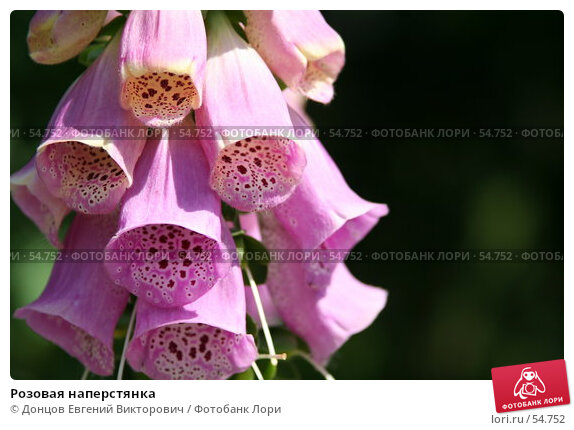 Розовая наперстянка, фото № 54752, снято 14 июня 2007 г. (c) Донцов Евгений Викторович / Фотобанк Лори