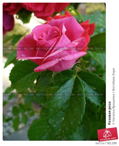 Розовая роза, фото № 182288, снято 30 мая 2007 г. (c) Наталья Ярошенко / Фотобанк Лори