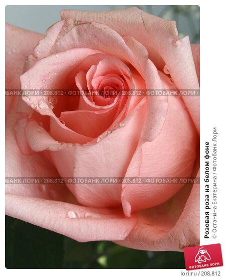 Розовая роза на белом фоне, фото № 208812, снято 13 июля 2007 г. (c) Останина Екатерина / Фотобанк Лори