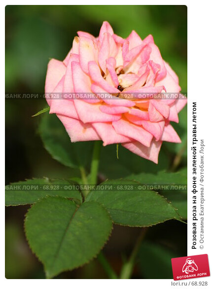 Розовая роза на фоне зеленой травы летом, фото № 68928, снято 24 июля 2007 г. (c) Останина Екатерина / Фотобанк Лори