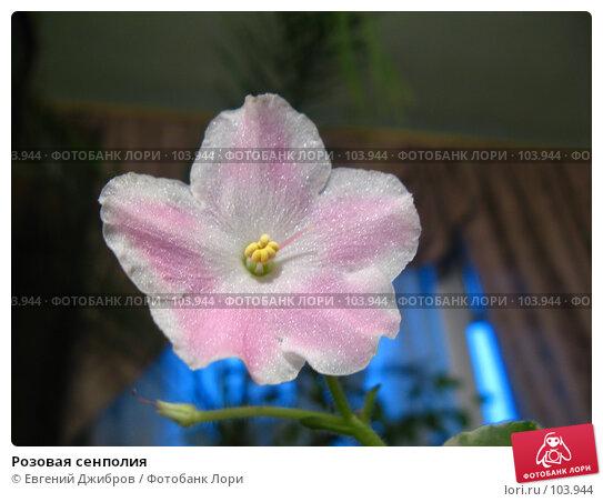 Розовая сенполия, фото № 103944, снято 28 мая 2017 г. (c) Лысых Константин / Фотобанк Лори