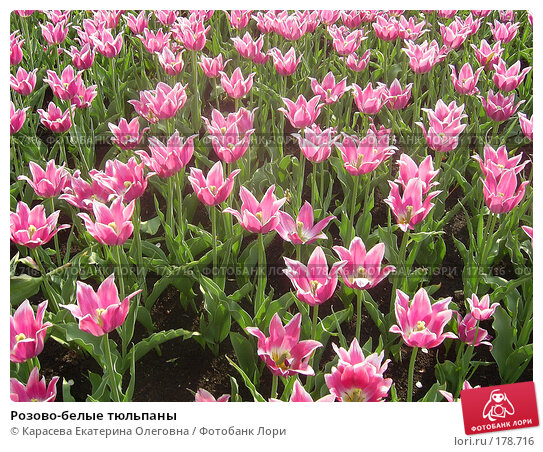 Розово-белые тюльпаны, фото № 178716, снято 7 января 2005 г. (c) Карасева Екатерина Олеговна / Фотобанк Лори