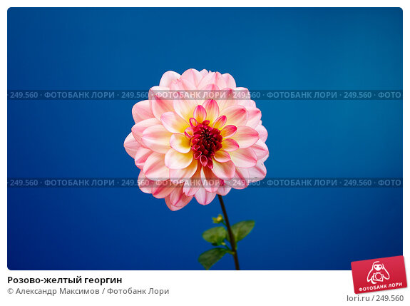 Розово-желтый георгин, фото № 249560, снято 23 сентября 2006 г. (c) Александр Максимов / Фотобанк Лори
