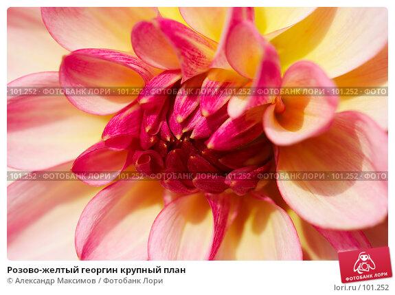Розово-желтый георгин крупный план, фото № 101252, снято 23 сентября 2006 г. (c) Александр Максимов / Фотобанк Лори