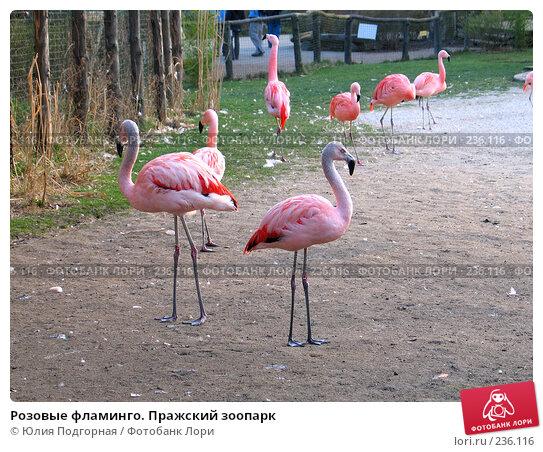 Купить «Розовые фламинго. Пражский зоопарк», фото № 236116, снято 15 марта 2008 г. (c) Юлия Селезнева / Фотобанк Лори