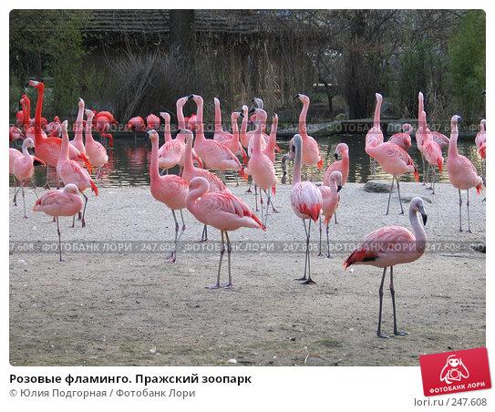 Розовые фламинго. Пражский зоопарк, фото № 247608, снято 15 марта 2008 г. (c) Юлия Селезнева / Фотобанк Лори