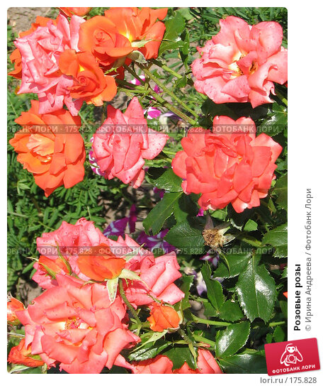 Розовые розы, фото № 175828, снято 12 августа 2007 г. (c) Ирина Андреева / Фотобанк Лори