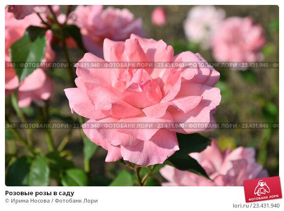 Розовые розы в саду. Стоковое фото, фотограф Ирина Носова / Фотобанк Лори