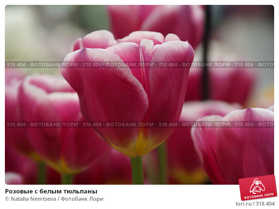 Розовые с белым тюльпаны, эксклюзивное фото № 318404, снято 8 апреля 2008 г. (c) Natalia Nemtseva / Фотобанк Лори