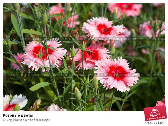 Розовые цветы, фото № 71652, снято 5 августа 2007 г. (c) Argument / Фотобанк Лори