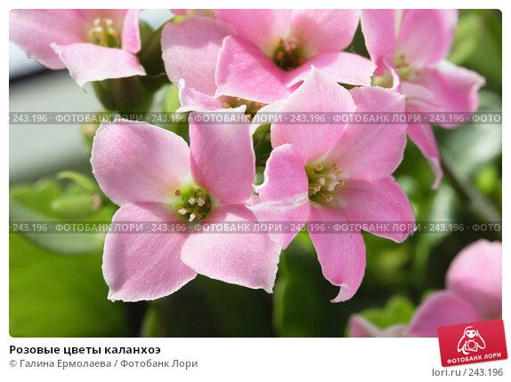 Розовые цветы каланхоэ, фото № 243196, снято 5 апреля 2008 г. (c) Галина Ермолаева / Фотобанк Лори