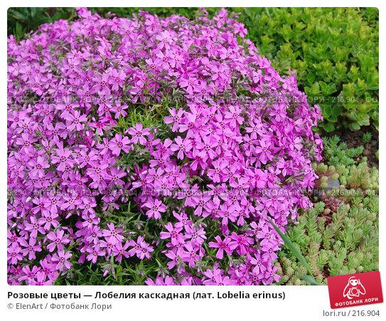 Розовые цветы — Лобелия каскадная (лат. Lobelia erinus), фото № 216904, снято 23 июля 2017 г. (c) ElenArt / Фотобанк Лори