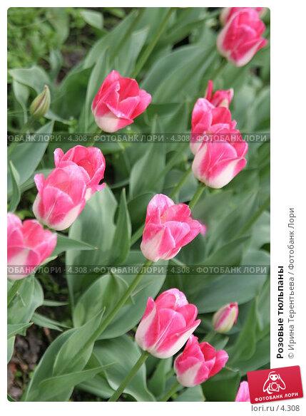 Розовые тюльпаны, эксклюзивное фото № 4308, снято 29 мая 2006 г. (c) Ирина Терентьева / Фотобанк Лори