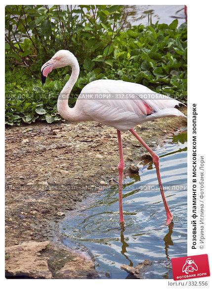 Розовый фламинго в московском зоопарке, фото № 332556, снято 21 июня 2008 г. (c) Ирина Иглина / Фотобанк Лори