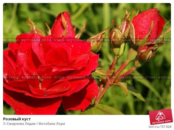 Купить «Розовый куст», фото № 57924, снято 1 июля 2007 г. (c) Смирнова Лидия / Фотобанк Лори