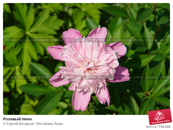 Розовый пион, фото № 158044, снято 24 июня 2006 г. (c) Сергей Бочаров / Фотобанк Лори