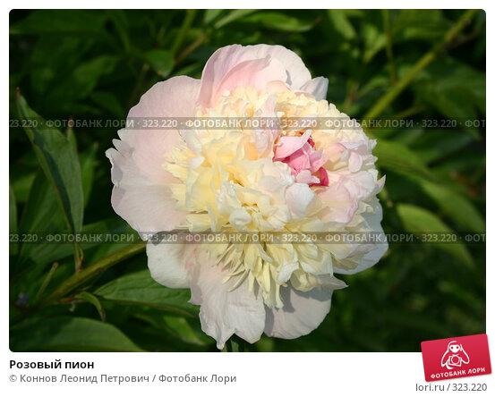 Купить «Розовый пион», фото № 323220, снято 15 июня 2008 г. (c) Коннов Леонид Петрович / Фотобанк Лори