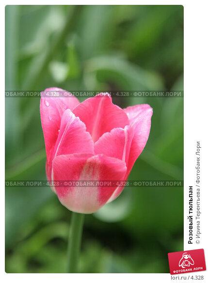 Купить «Розовый тюльпан», эксклюзивное фото № 4328, снято 29 мая 2006 г. (c) Ирина Терентьева / Фотобанк Лори