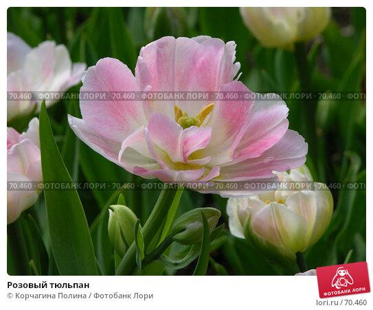 Розовый тюльпан, фото № 70460, снято 21 мая 2006 г. (c) Корчагина Полина / Фотобанк Лори
