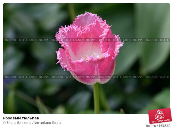 Розовый тюльпан, фото № 163560, снято 14 мая 2007 г. (c) Елена Блохина / Фотобанк Лори