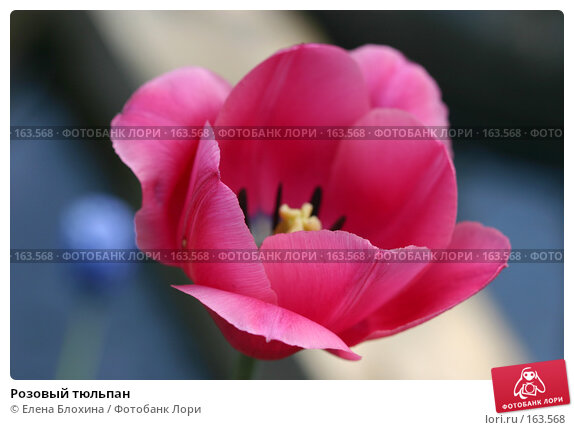 Розовый тюльпан, фото № 163568, снято 16 мая 2007 г. (c) Елена Блохина / Фотобанк Лори