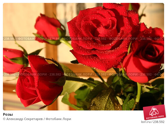 Розы, фото № 238592, снято 29 марта 2017 г. (c) Александр Секретарев / Фотобанк Лори