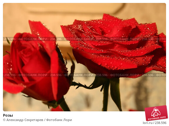 Розы, фото № 238596, снято 19 февраля 2017 г. (c) Александр Секретарев / Фотобанк Лори