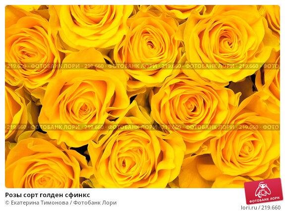 Розы сорт голден сфинкс, фото № 219660, снято 3 марта 2007 г. (c) Екатерина Тимонова / Фотобанк Лори