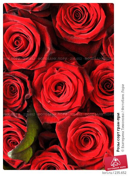 Розы сорт гран-при, фото № 235652, снято 3 марта 2007 г. (c) Екатерина Тимонова / Фотобанк Лори