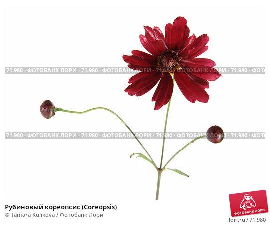 Рубиновый кореопсис (Coreopsis), фото № 71980, снято 15 августа 2007 г. (c) Tamara Kulikova / Фотобанк Лори