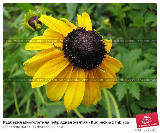 Рудбекия многолетняя гибридная желтая - Rudbeckia x hibrida, фото № 272420, снято 11 августа 2007 г. (c) Беляева Наталья / Фотобанк Лори