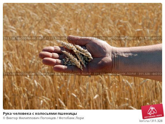 Рука человека с колосьями пшеницы, фото № 311328, снято 10 июля 2007 г. (c) Виктор Филиппович Погонцев / Фотобанк Лори