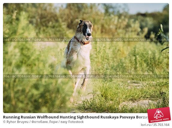 Running Russian Wolfhound Hunting Sighthound Russkaya Psovaya Borzaya... Стоковое фото, фотограф Ryhor Bruyeu / easy Fotostock / Фотобанк Лори