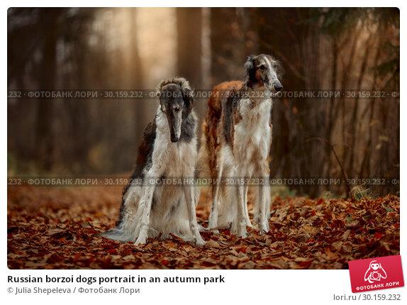 Купить «Russian borzoi dogs portrait in an autumn park», фото № 30159232, снято 20 октября 2018 г. (c) Julia Shepeleva / Фотобанк Лори