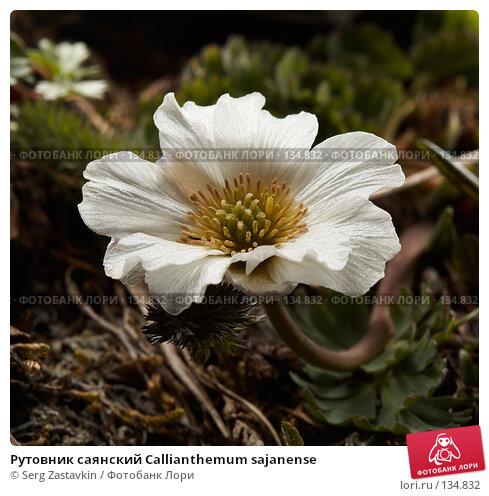 Рутовник саянский Callianthemum sajanense, фото № 134832, снято 14 августа 2006 г. (c) Serg Zastavkin / Фотобанк Лори