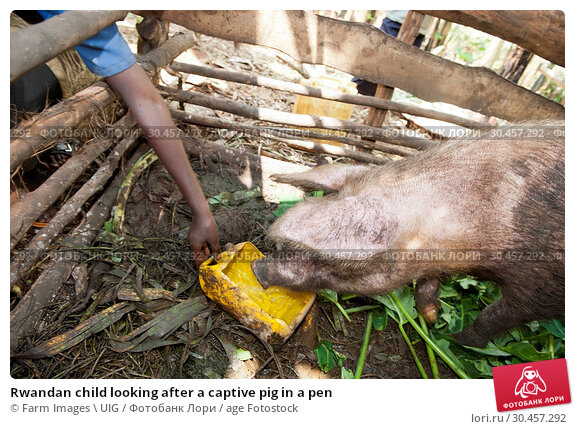 Rwandan child looking after a captive pig in a pen. Стоковое фото, фотограф Farm Images \ UIG / age Fotostock / Фотобанк Лори
