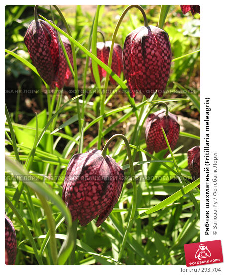 Рябчик шахматный (Fritillaria meleagris), фото № 293704, снято 17 мая 2008 г. (c) Заноза-Ру / Фотобанк Лори
