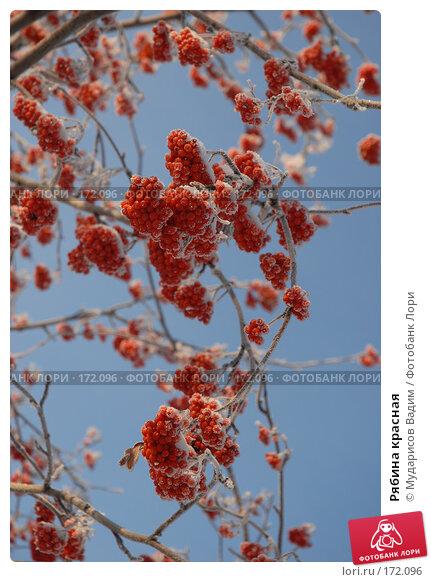 Рябина красная, фото № 172096, снято 9 января 2008 г. (c) Мударисов Вадим / Фотобанк Лори