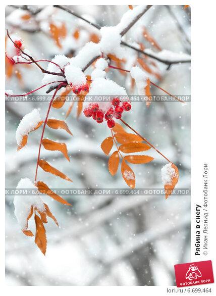 Купить «Рябина в снегу», фото № 6699464, снято 6 октября 2014 г. (c) Икан Леонид / Фотобанк Лори