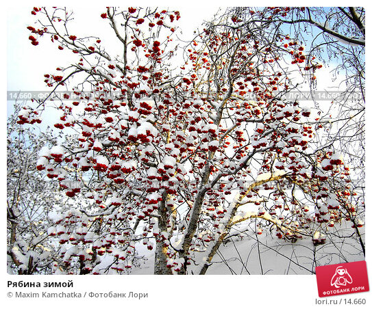 Купить «Рябина зимой», фото № 14660, снято 12 декабря 2006 г. (c) Maxim Kamchatka / Фотобанк Лори