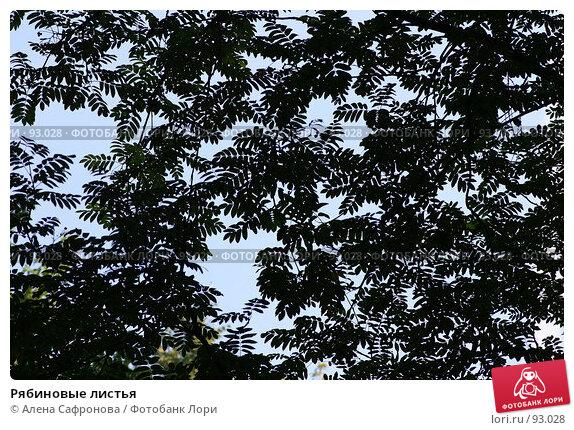 Купить «Рябиновые листья», фото № 93028, снято 12 августа 2007 г. (c) Алена Сафронова / Фотобанк Лори