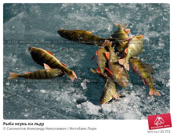 Рыба окунь на льду, фото № 33772, снято 17 марта 2007 г. (c) Саломатов Александр Николаевич / Фотобанк Лори