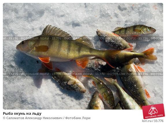 Рыба окунь на льду, фото № 33776, снято 17 марта 2007 г. (c) Саломатов Александр Николаевич / Фотобанк Лори