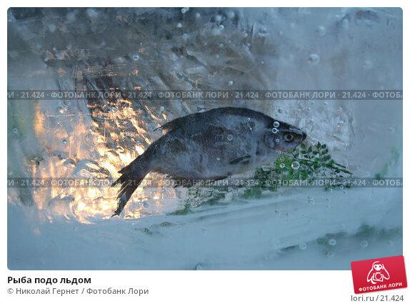 Рыба подо льдом, фото № 21424, снято 25 октября 2016 г. (c) Николай Гернет / Фотобанк Лори